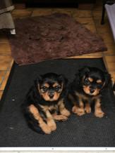 Cavalier Beauties-Nylah-Dewi-pups.JPG