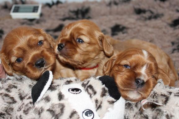 Cavalier-Beauties-Pups-Beschikbaar-klein