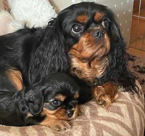 Cavalier-Beauties-Pup-Tess-DjayDjay.jpg