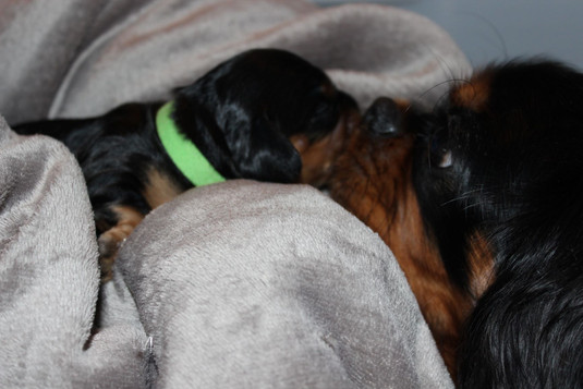Cavalier-Beauties=Tess-pup.JPG