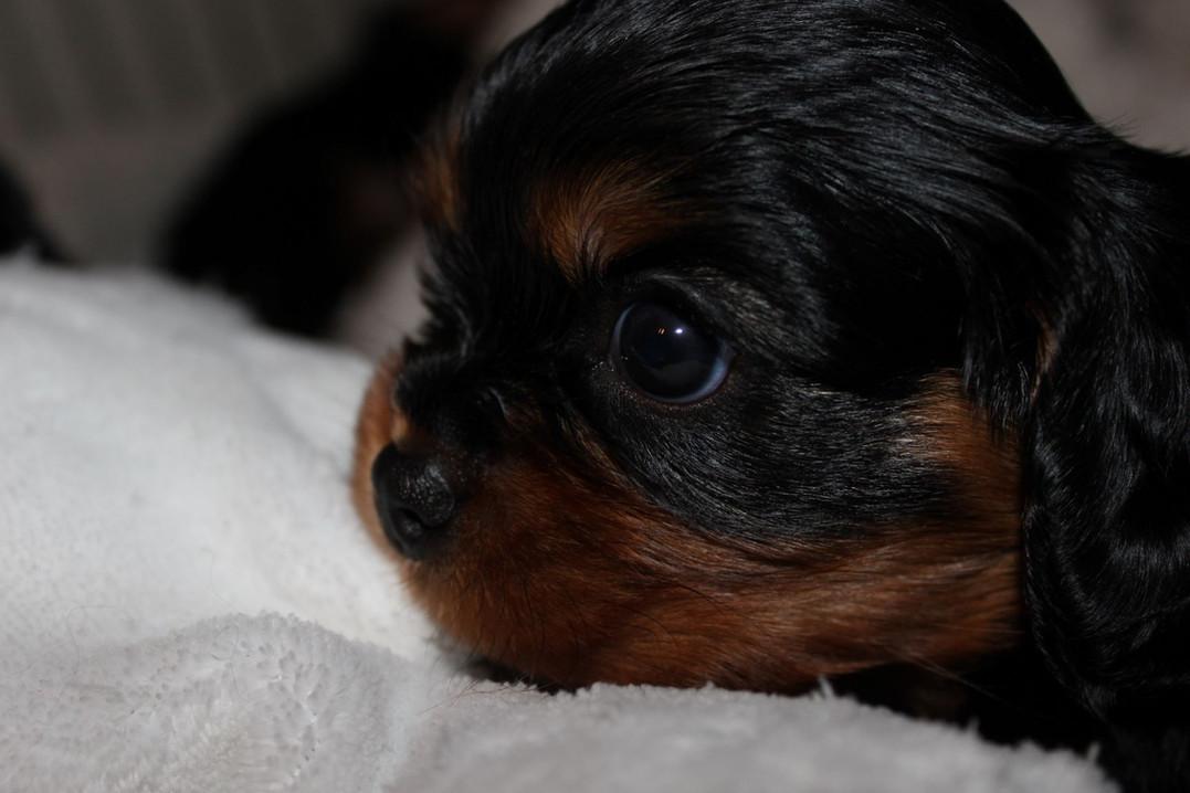 cheerfull-Beauties-Kennel-Pup-Beschikbaa