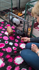 Cavalier-beauties-Tess-Senna-pups.JPG