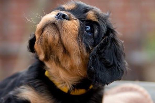 Cavalier King Charles Spaniel-Dewi-pup.J