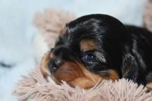 Cavalier-beauties-Tesslyn-Tess-Pup.JPG