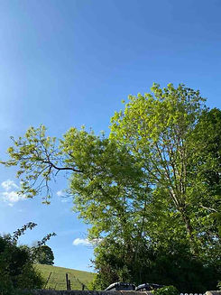 Low Ash trees, spring .jpg