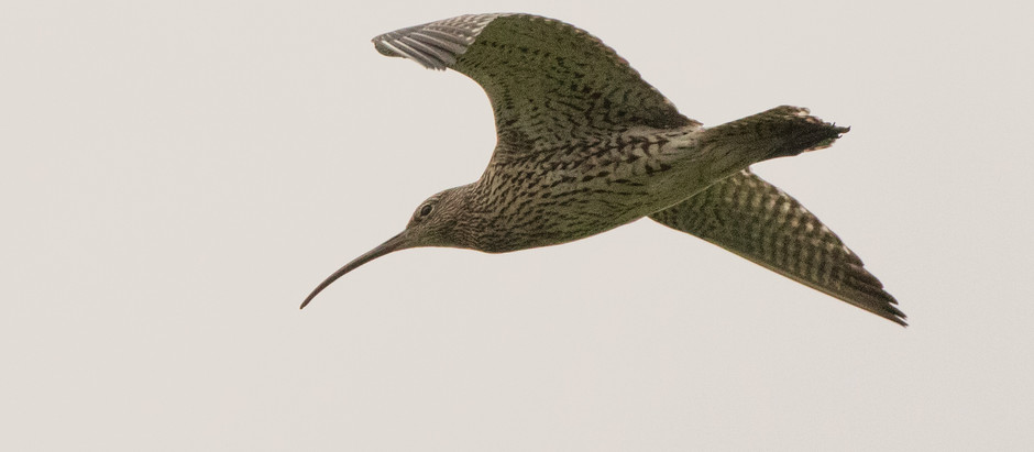 Curlew calls to open the gates of spring
