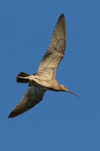 Curlews. Ashley Boon (1).jpg