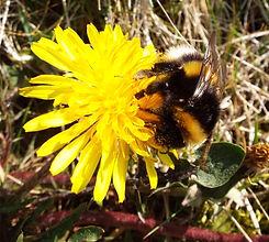Bumblebee close up.jpg