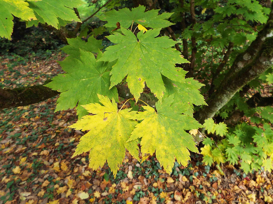 Low maple leaves.jpg
