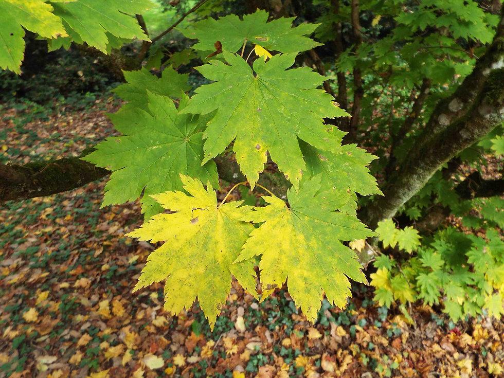 Low maple leaves.jpg