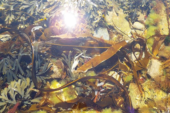 Kelp, Orkney copy.jpg