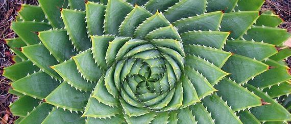 cactus_fibonacci_7717659045-4.jpg