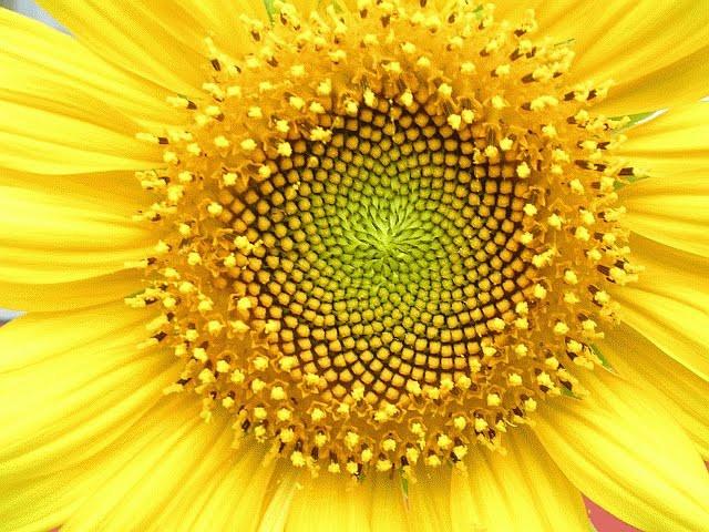 Fibonacci_Helianthus_whorl.jpg