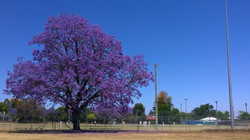 Jacarada in Bloom on the Course