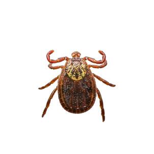 Encephalitis or Lyme Virus Infected Tick