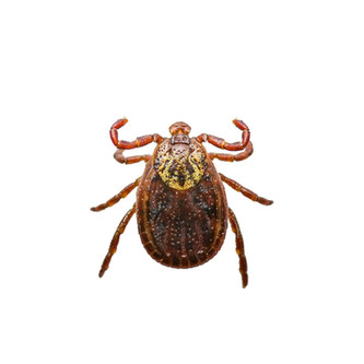 Encephalitis or Lyme Virus Infected Tick