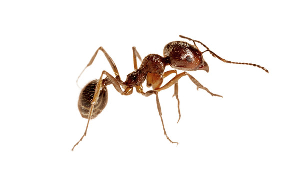 Small ant worker