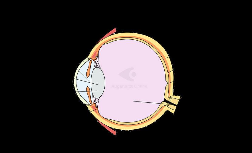 Anatomie des Augapfels
