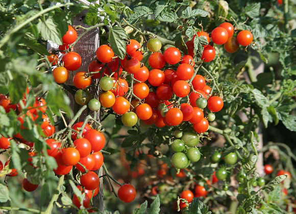 Cherrytomate 'Sweet Million'