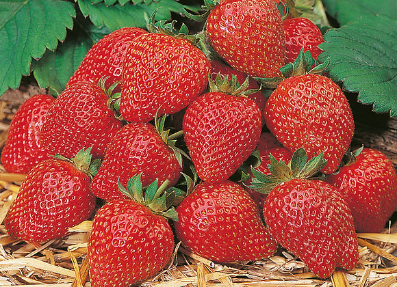 Aroma-Erdbeere 'Elan'