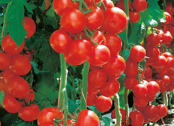 Tomate 'Campos'