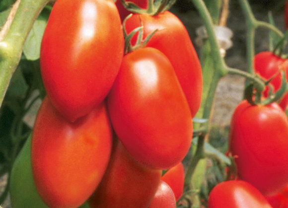 Roma-Tomate 'Patia Red'