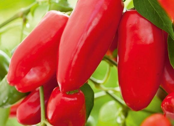 Mini-Snackpaprika 'Lubega Mini Red'