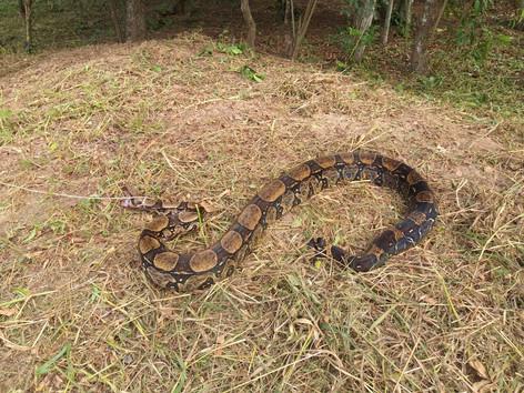 Jiboia com cerca de 2,5 metros é resgatada em sítio e devolvida à natureza