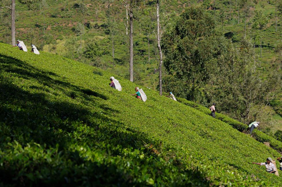 Zbieranie herbaty, Sri Lanka