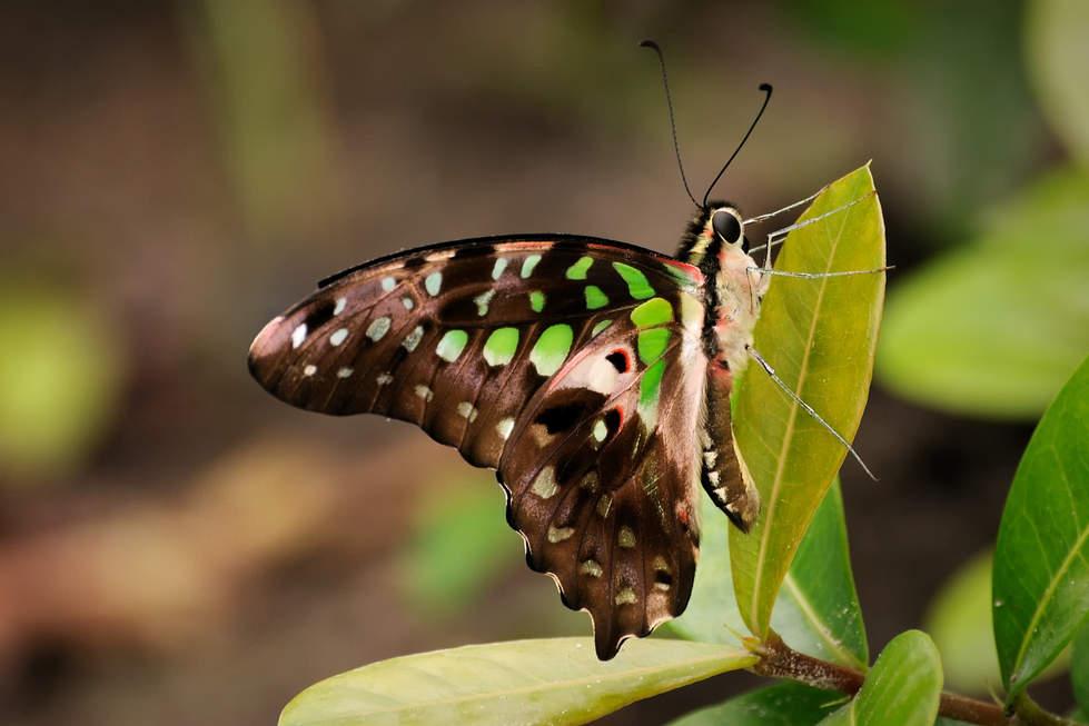 Piękny Motyl, Borneo