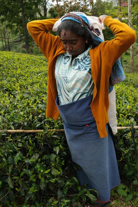 Kobieta zrywa herbatę, Sri Lanka