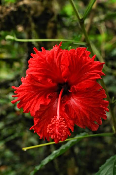 czerwony kwiat w dżungli, Borneo