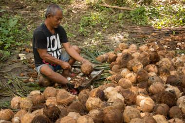 Rozłupywanie kokosów, Bohol