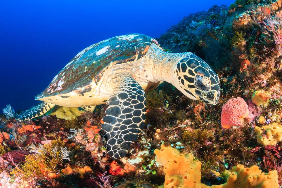 żółw na rafie koralowej, Mabul