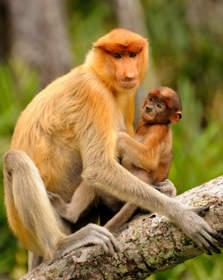Małpy Nosacze, Borneo