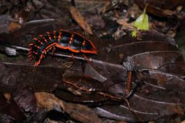 W dżungli parku Kinabalu