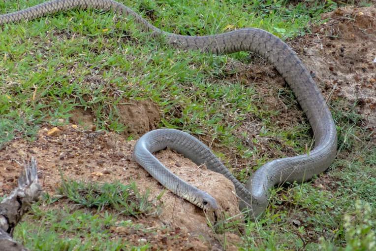 Wąż w Parku Yala, Sri Lanka