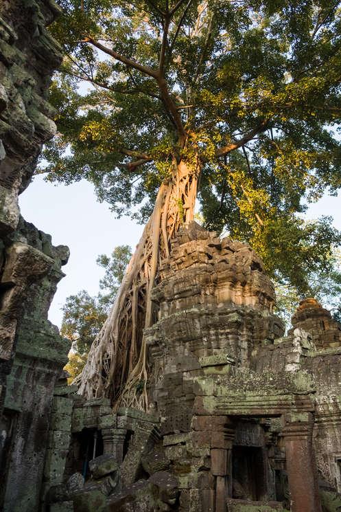 Drzewo górujące nad świątynią Ta Prohm w Kambodży