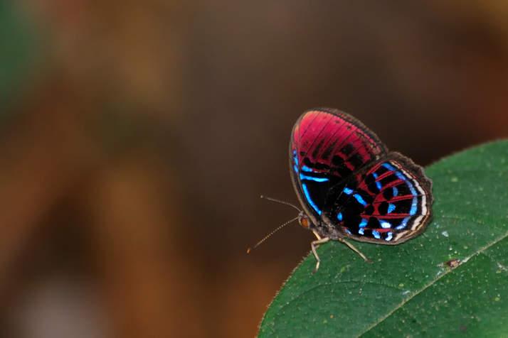Motyl w parku Bako, Malezja