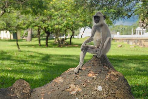 Małpka w mieście Anuradhapura