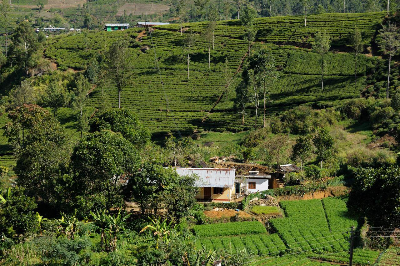 Plantacja Herbaty, Cejlon