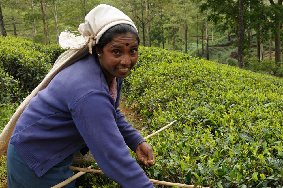 Zbieranie cejlońskiej herbaty