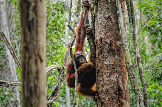 Orangutany w Semenggoh, Borneo, Malezja