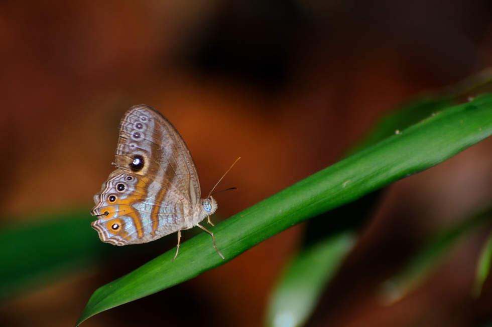 Motyl w parku Bako