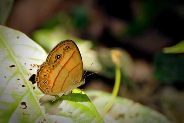 Motylek w parku Gunung Mulu, Borneo