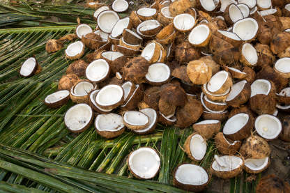 Kokosy, Bohol