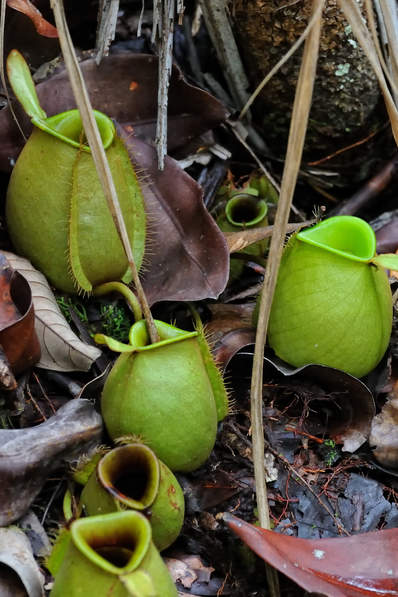 Dzbaneczniki w lesie deszczowym