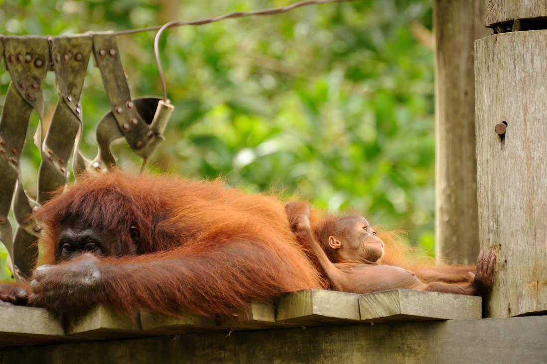 Orangutany w Sepilok, Sabah, Borneo