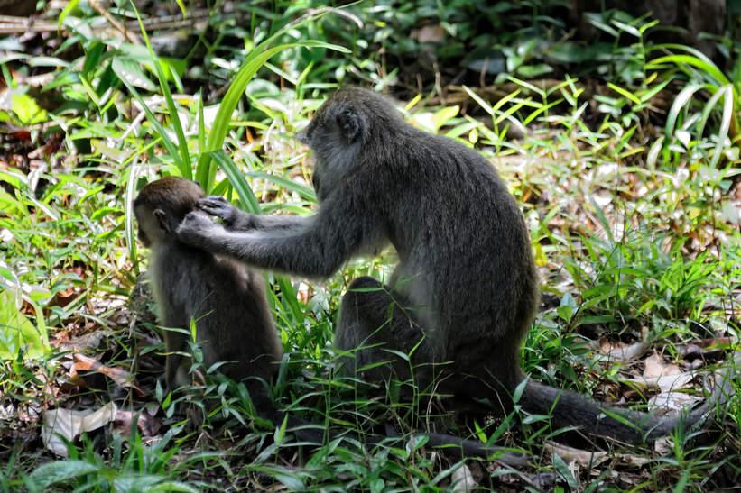 Małpy w Parku Bako, Kuching