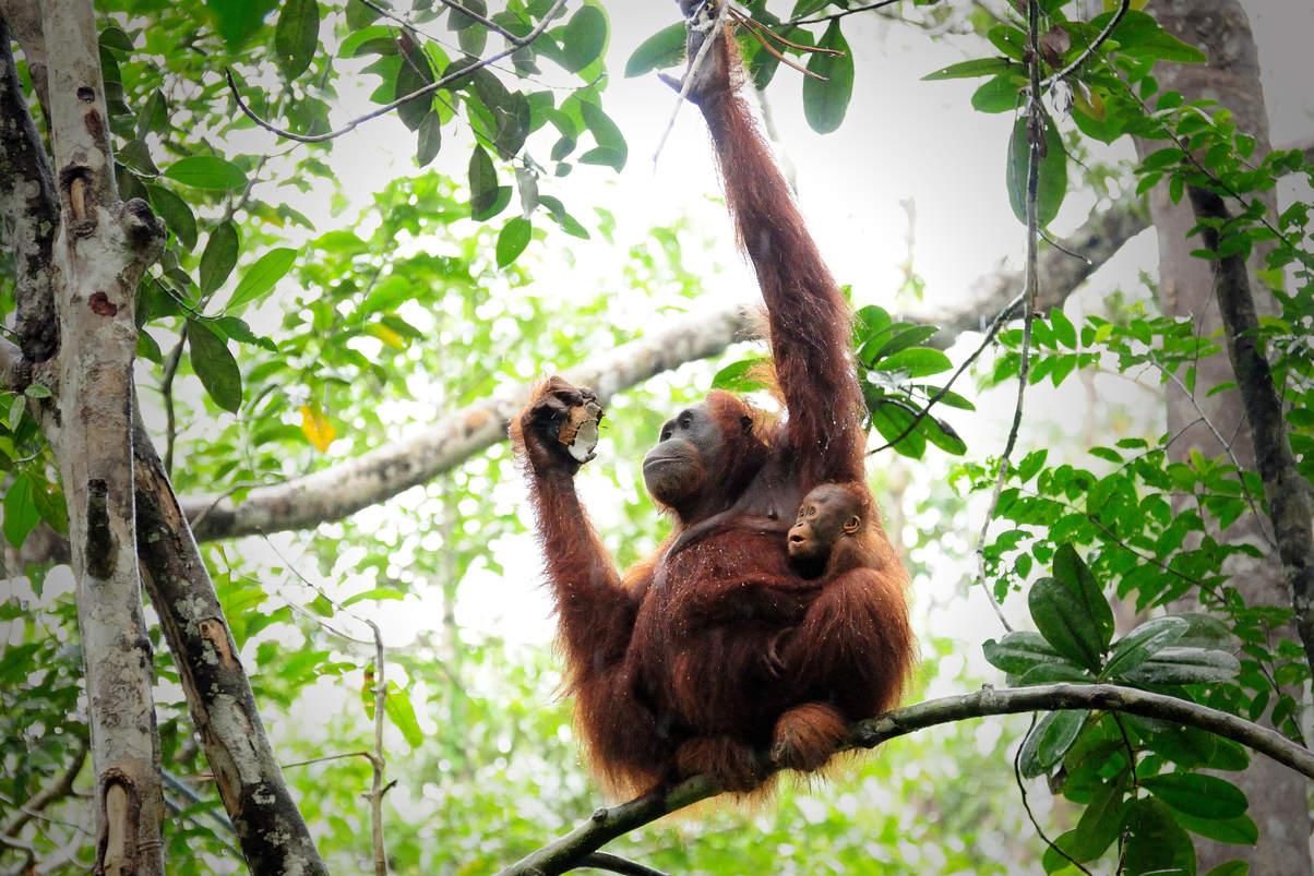 Orangutany w Semenggoh, Borneo